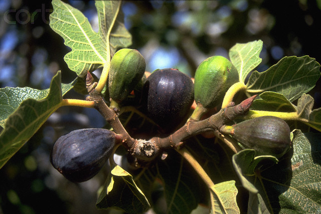 Fig Tree in Israel