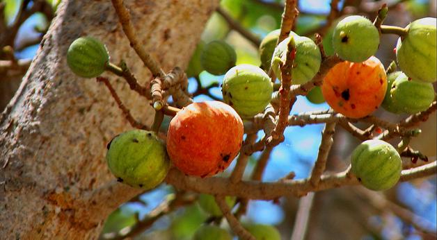 fig_tree 2