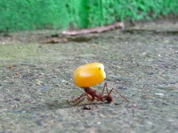 a ant corn